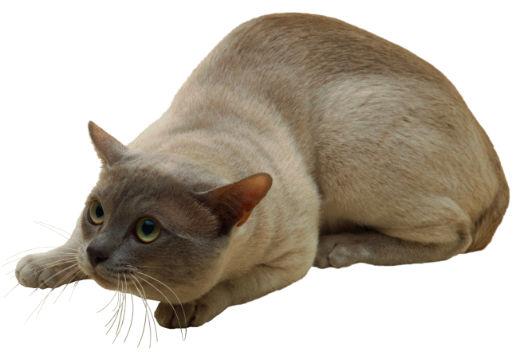 Тонкинская кошка наблюдает фото