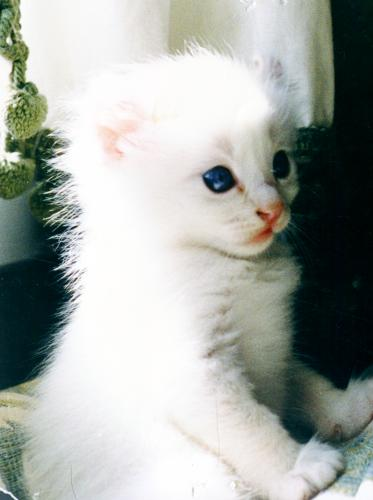 Белый котенок Американского Керла фото
