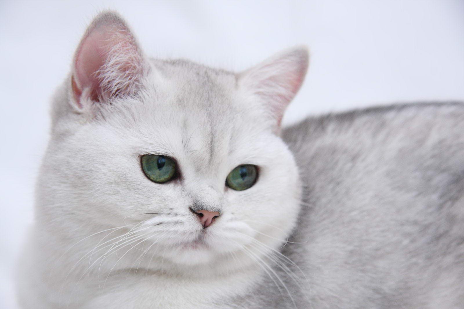 White British Shorthair photo and wallpaper Beautiful White