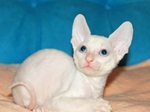 White Cornish Rex kitten