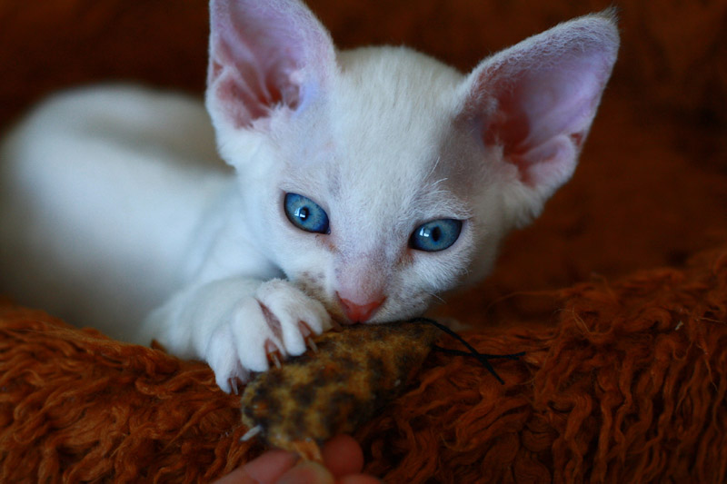 White Devon Rex kitten wallpaper