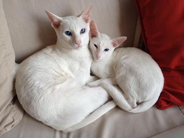White Oriental Shorthair cats wallpaper