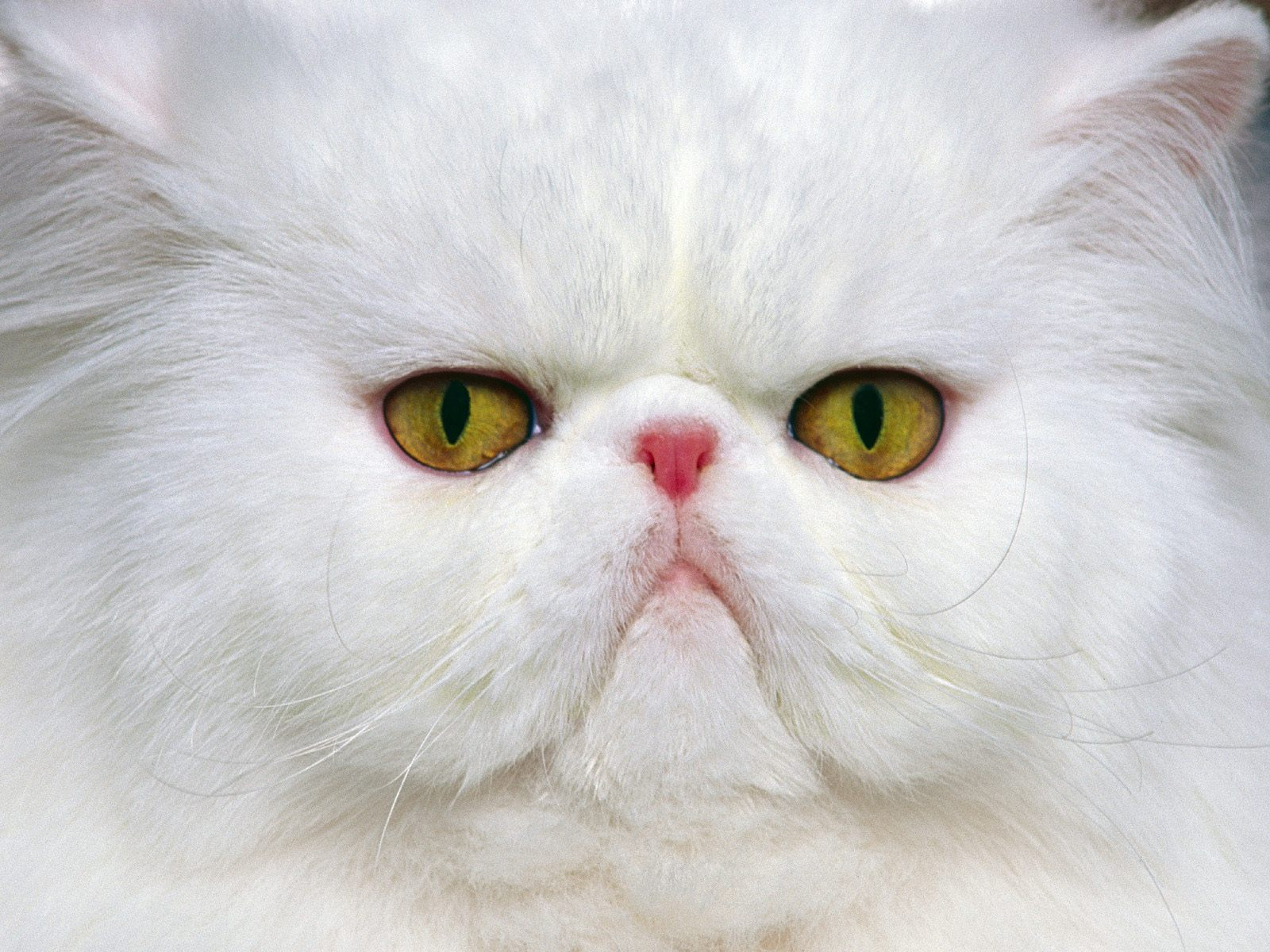 White Persian cat face wallpaper