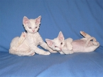 White Sleeping Devon Rex cats