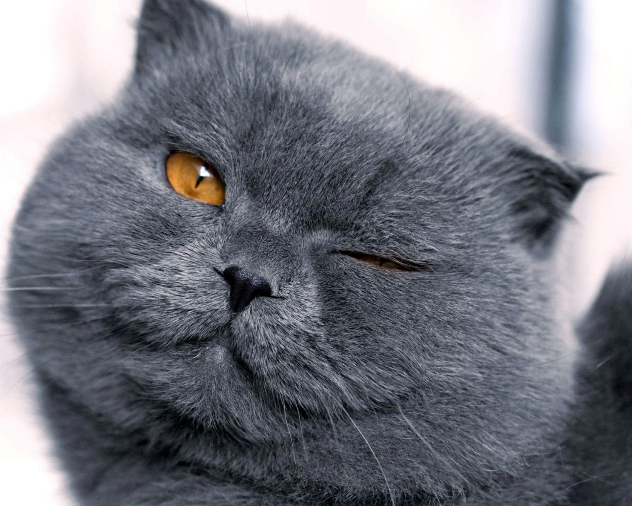 Winking Scottish Fold wallpaper