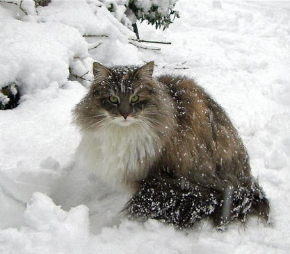 Winter Norwegian Forest Cat  wallpaper
